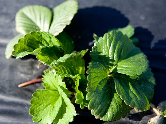 Strawberries planted in September are leafing out toward spring sunshine