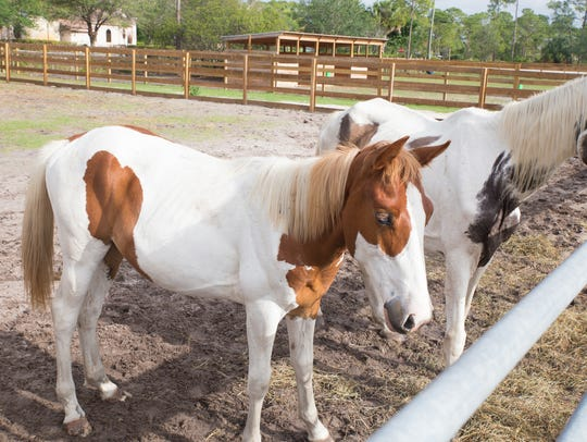 In this file photo from June 2017, Frankie, in front, is a 1-year-old Paint colt and his mother Josie, in back, is a 17-year-old Paint mare. The Bowling for Horses fundraiser will benefit ERAF's rescued horses.
