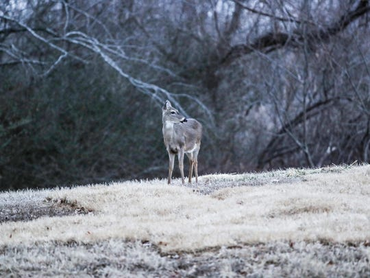 February 01, 2018 - A deer is seen as light fades in Shelby Farms Park.