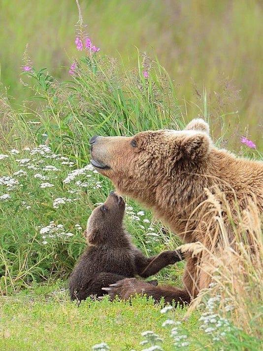 Brown Bears by Harry Nieman