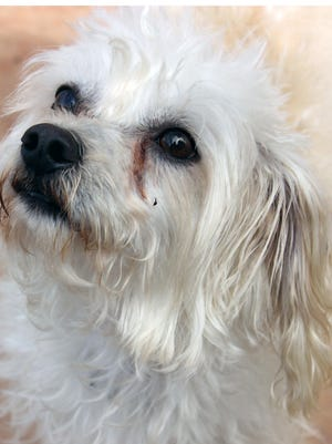 Happy is a great name for this friendly little guy because it describes his personality to a tee. He is a Maltese Poodle mix and only weighs 12 pounds. Happy is good with other small dogs and probably would not be comfortable in a home with a large dog. He is approximately 4 years old. Happy really relates well to older children but the younger children make him nervous.