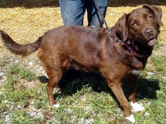 Truffles is a 3-year-old, spayed female Labrador retriever
