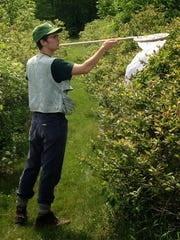Charlie C. Nicholson nets pollinators on a Chittenden County blueberry farm, summer 2013.