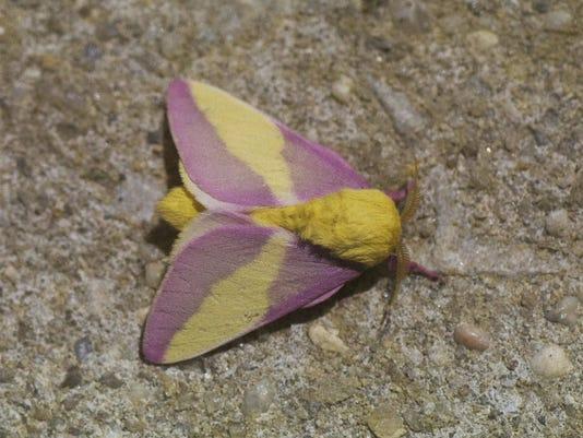 636047190398014366-thumbnail-Rosy-Maple-Moth-NJCF.jpg