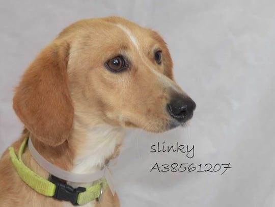 Slinky - Male dachshund mix, adult. Intake date: 5-14-2018