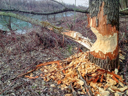 Beaver tree damage