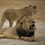 """Much-loved Zimbabwean lion  """"Cecil."""""""