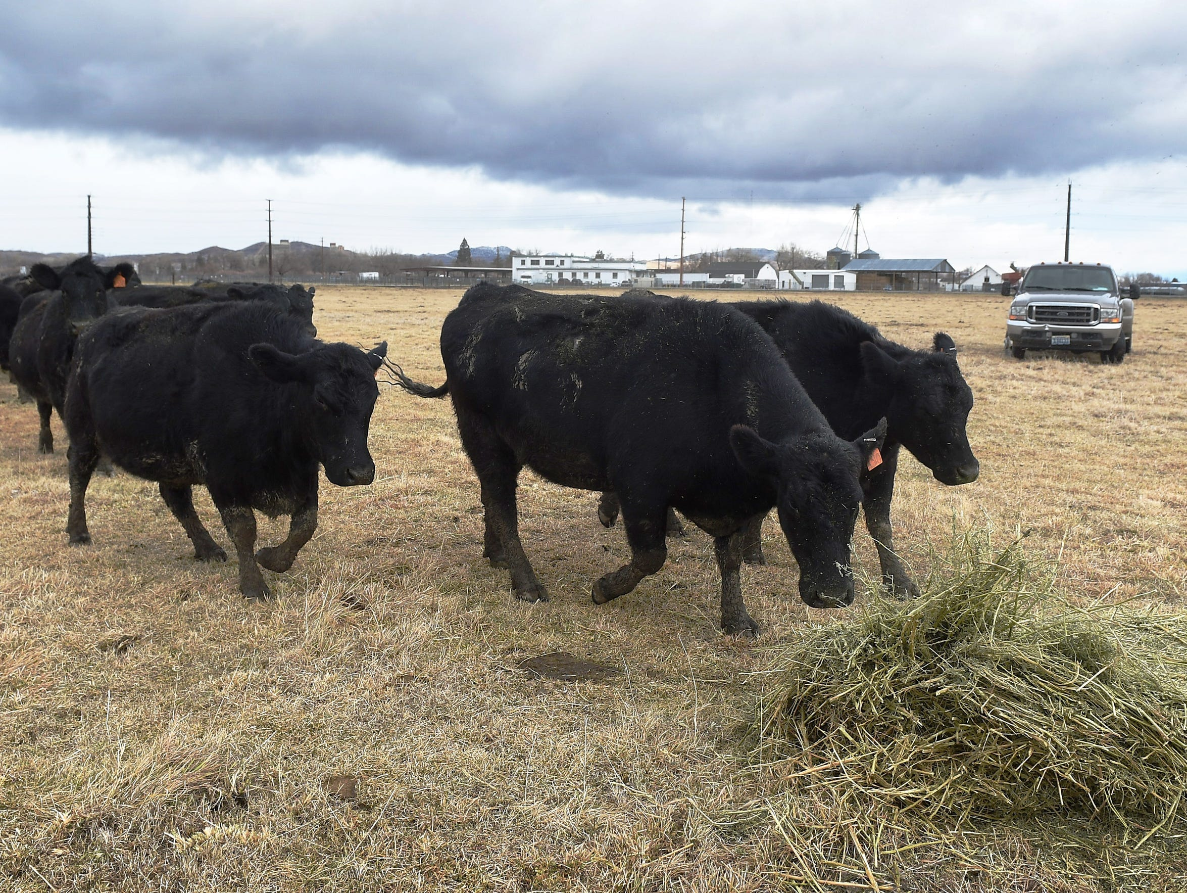 Livestock is brought back to the University of Nevada,