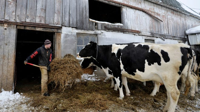 Brandon Falke, 27, feeds hay to cows at the Falker Family Farm in Bruce Township, Mich.