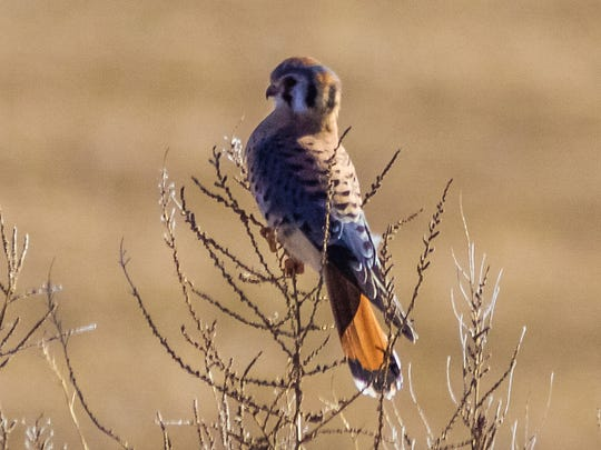 A colorful American Kestrel poses in the dry brush of the Northern uplands of Bosque del Apache National Wildlife Refuge.