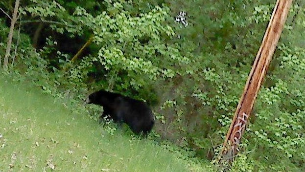 This black bear was sighted near Creek Road in Newark Wednesday.
