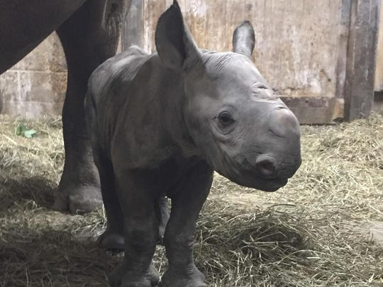Kendi is the first baby black rhino at the Cincinnati Zoo since 1999; keepers estimate the baby's weight is about 80 pounds.