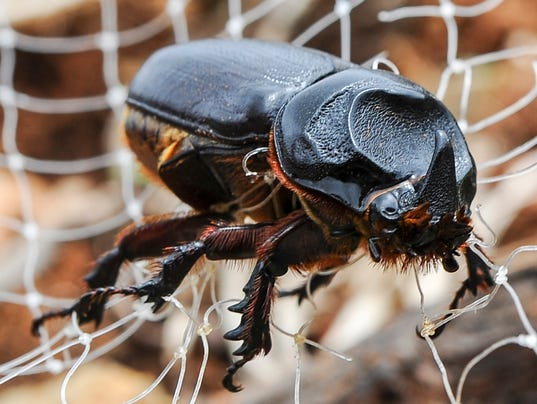 635821718919507449-110315rhino-beetle