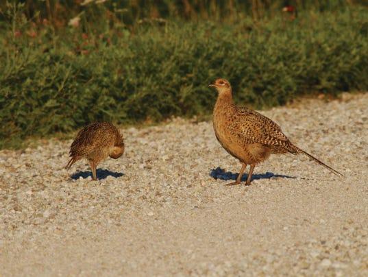 636066093124024772-young-pheasants-august2.jpg