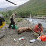 Biologists struggle to estimate grizzly population in Interior Alaska