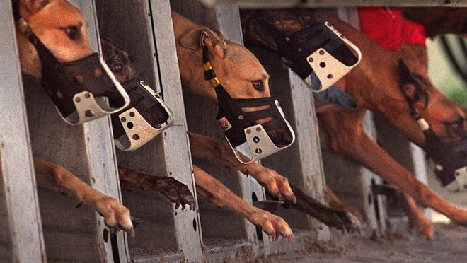 WEST PALM BEACH -- Greyhounds charge out of the starting box at the Palm Beach Kennel Club.