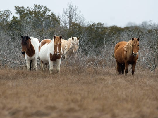 A band of horses on Assateague Island watches curiously as park ranger Allison Turner collects a sample of horse manure that will be used for genetic testing.