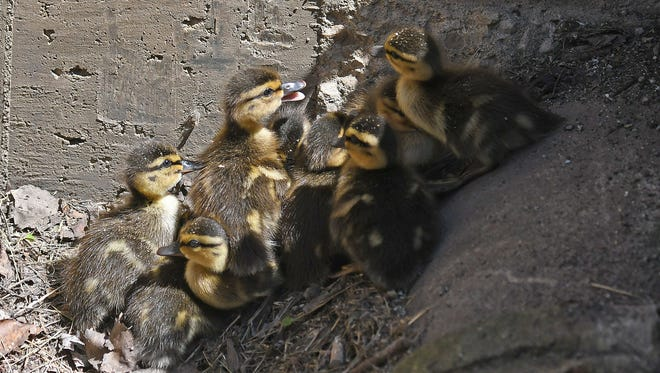 Nine baby ducklings, trapped in a storm drain, wait to be rescued and reunited with their mother and sibling.