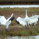 A national leader in the whooping crane survival story will speak Friday and Saturday at the Red River National Wildlife Refuge.