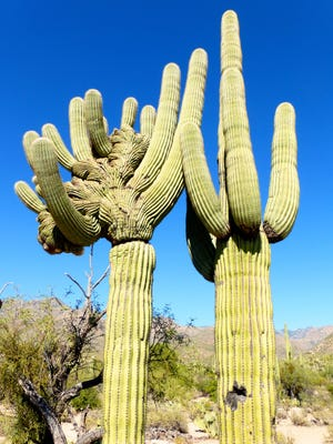 A rare crested saguaro cactus can be found along the short Bajada Loop Nature Trail.