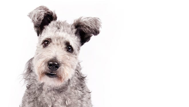 In this undated photo provided by the American Kennel Club, a pumi is shown. The high-energy Hungarian herding dog is the latest new breed headed to the Westminster Kennel Club.