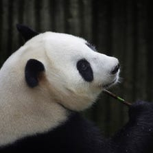 """This picture taken on July 17, 2014 shows giant panda Ai Hin holding a bamboo twig at the Chengdu Giant Panda Breeding Research Centre in Chengdu, in southwest China's Sichuan province. Hopes that tiny panda paws would be seen in the world's first live-broadcast cub delivery were dashed on August 26, 2014 when Chinese experts suggested the """"mother"""" may have been focusing more on extra bun rations than giving birth.   CHINA OUT     AFP PHOTO        (Photo credit should read STR/AFP/Getty Images)"""