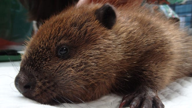 This baby beaver was found injured on a Tallahassee road. He recovered at St. Francis Wildlife and was released in suitable beaver habitat.