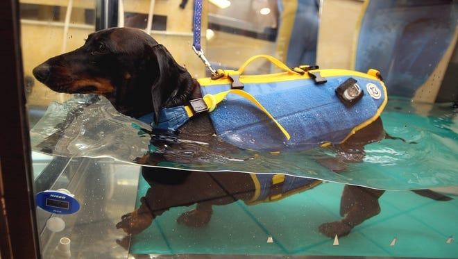 5-year-old obese dachshund walks on an aqua treadmill at El Perro aqua fitness club for dogs March 17, 2007 in Tokyo, Japan.