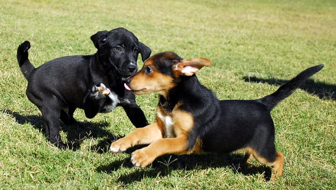 In this 2013 file photo, two puppies play while at Animal Village NM. The no-kill shelter is vying for a BISSELL Pet Foundation award.