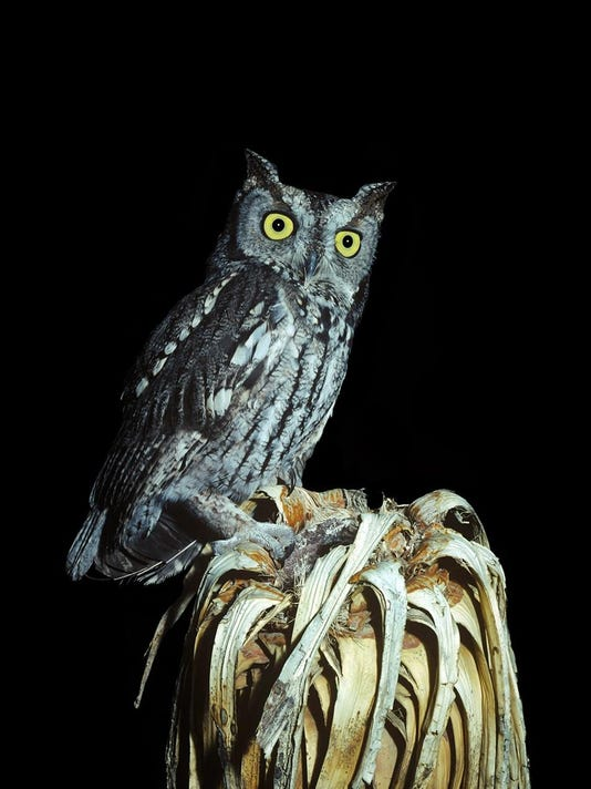Western Screech Owl on Joshua tree stump