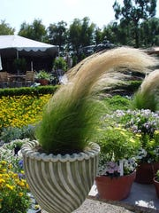 Flowering ornamental grasses are animated, bringing classical containers to life in the breeze.