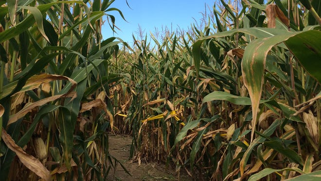 Navigate a corn maze with the Rochester Orienteering Club on Oct. 10, among this week's best bets.
