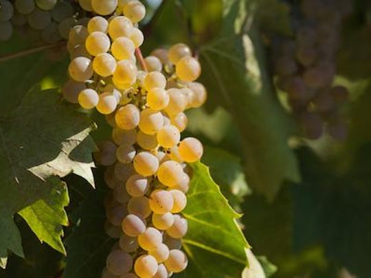 The cold-hardy Frontenac Blanc is a mutation of Frontenac