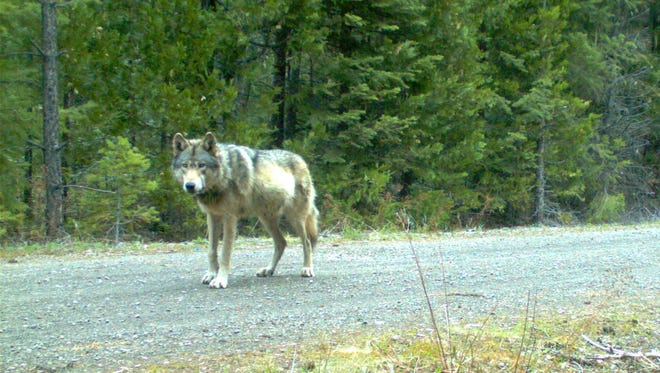 Remote camera photo of OR7 captured on 5/3/2014 in eastern Jackson County on Forest Service land.