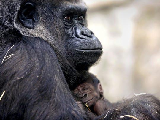 Toledo Zoo-Baby Gorilla
