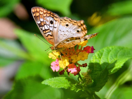 A Princess butterfly feeds on the flowers of a Lantana.