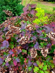 Oakleaf hydrangeas offer a bonus of colorful autumn foliage.