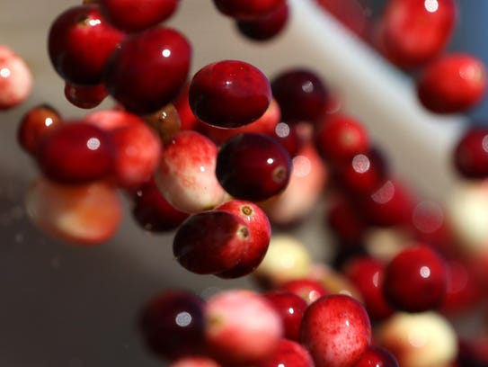 Cleaned cranberries tumble into the truck bed, some