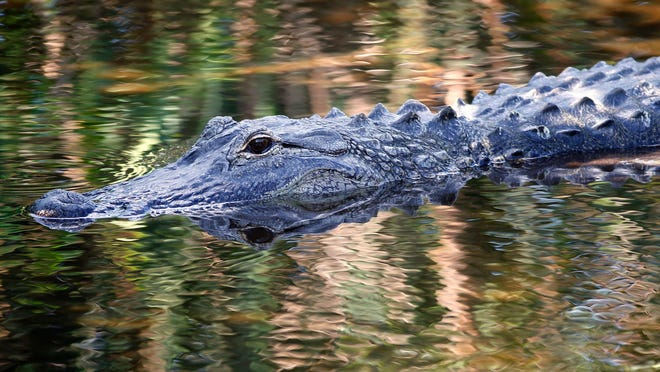 In this file photo taken on April 20, 2016, an alligator swims in the waters at Wakodahatchee Wetlands in Delray Beach, Florida.