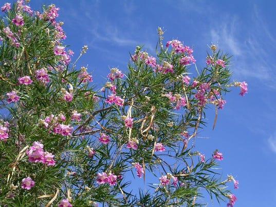 desert-willows.jpg