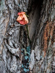 A lone, wilted flower sits in a tree that was struck