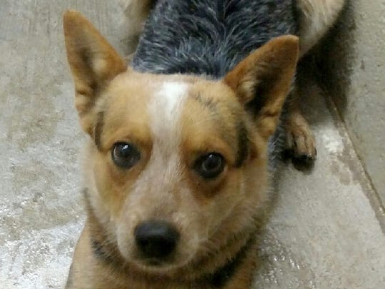 This female red Heeler mix is about 1 1/2 years old. She was left in Animal Control's outside lockup. Her adoption fee is $139.29. For more information about adopting a Pet of the Week or other furry friends visit Alamogordo Animal Control, 2910 N. Florida Ave., Monday through Saturday between noon and 5 p.m. or contact them at 439-4330.