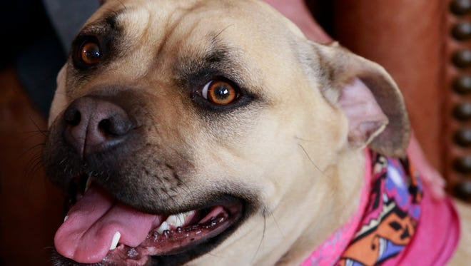 Katie, a 2-year-old Bullmastiff and pit bull mix, sits on Wednesday at the home of Mary Jane and Ken Washburn.
