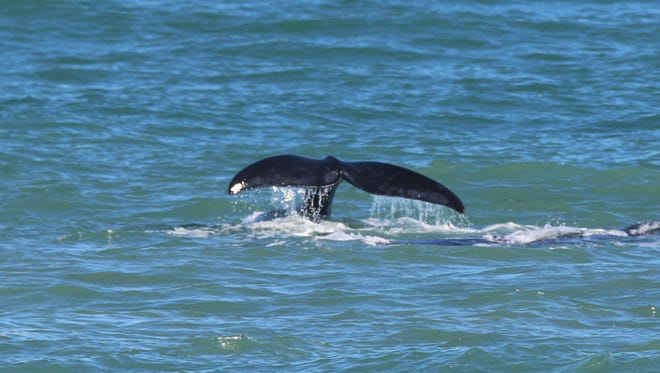 This photo was taken from the Barrier Island Center in Melbourne Beach on Sunday, Jan. 15, 2017.  The mother North Atlantic right whale has been tentatively identified as a whale that biologists have cataloged as #1711. This photo shows the tail of her third calf.