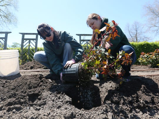 Seasonal gardeners Mirka Nowak, left, and Maria Nolan plant one of about 150 rose bushes Wednesday in the West of the Lake Gardens' rose garden.