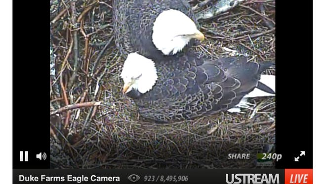 Two eagle parents tend to a nest at Duke Farms, Hillsborough