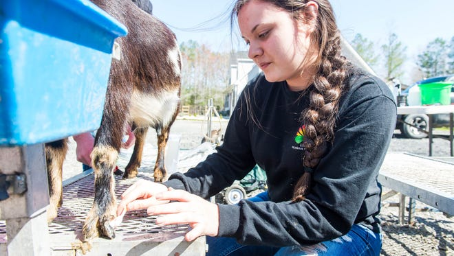 Cape Henlopen junior Amanda Moore cleans the hooves of a goat at Pine Hollow Acres in Georgetown on Tuesday, March 29.
