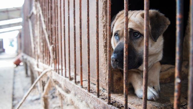 A dog waits to be rescued at a dog meat farm in Wonju, South Korea.