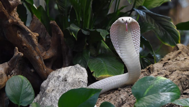 A Leucistic Monocled Cobra at the Planet Exotica zoological garden in Royan, France. The monocled cobra is native to India, China, Vietnam and Cambodia, as well as Malaysia, Bangladesh, Bhutan, Myanmar, Laos, Nepal and Thailand.