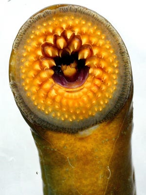 A lamprey is shown close up at a sea lamprey research station in Rogers City, Mich.